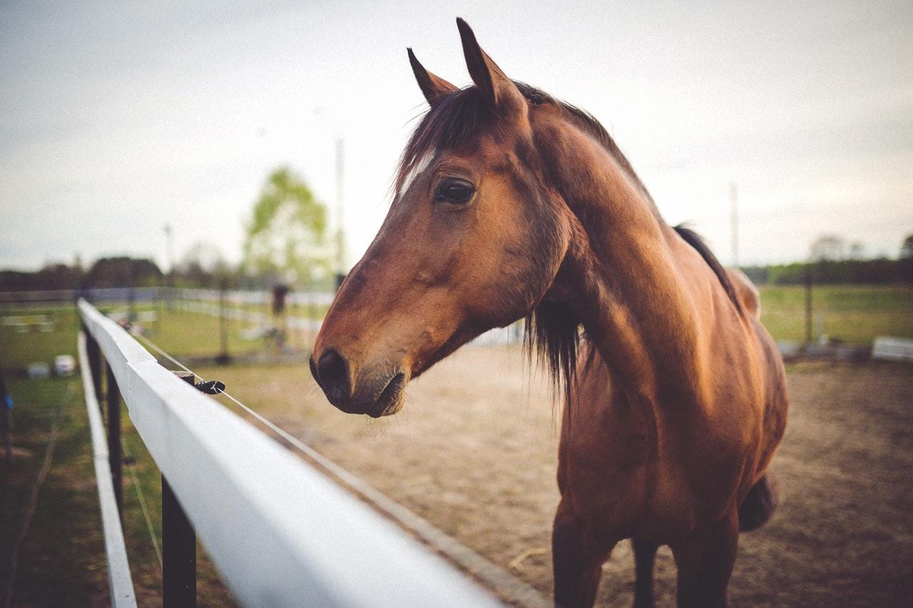Køb hest