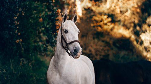 Hvid hest under et træ
