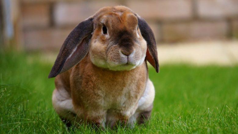 Kanin sidder på græsplæne