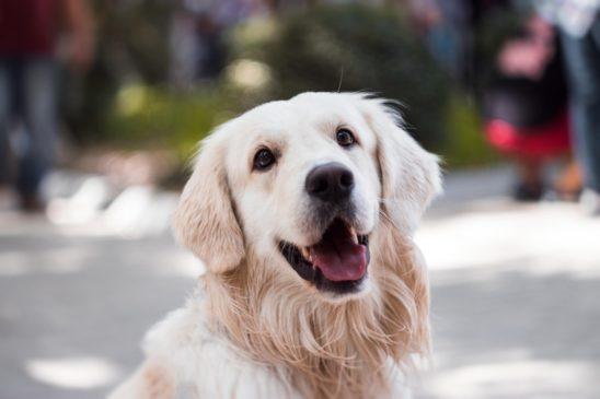 Golden retriever hund smiler udenfor